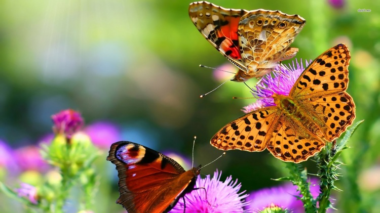 Collorful-Butterflies-hd-wallpaper